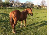 оголошення Продамо робочого коня, вік 9 років, кобилка